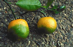 Citrus-Greening-Disease.jpg